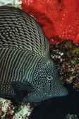 SUDAN, red Sea, U.W. photo, Red Sea Sailfin Tang (Zebrasoma desjardinii) — Stock Photo