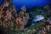 SUDAN, Red Sea, U.W. photo, Sanghaneb Reef, a Jack (Caranx lugubris) and soft corals — Foto Stock