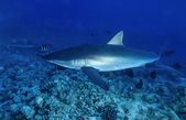 Silky shark (Carcharhinus falciformis) — Stock Photo