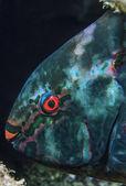 Tropical parrot fish (Scarus vetula) — Stock Photo