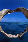 Shark jaws — Stock Photo