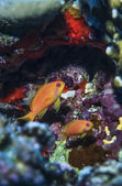 Tropical anthias — Foto de Stock