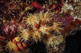 Yellow Cluster Anemone — Photo