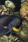 Black Striped Surgeonfish — Stock Photo