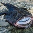 A big angler fish (Lophius piscatorius) — Stock Photo