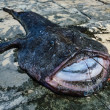 Stock Photo: Big angler fish (Lophius piscatorius)