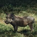 Warthog (Phacochoerus aethiopicus) — Stock Photo