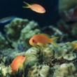 Tropical Anthias (Pseudanthias squamipinnis) — Stock Photo