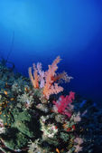 Tropical alcyonarian (soft coral) — Stock Photo