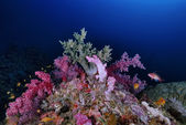Tropical alcyonarian (soft coral) and anthias — Stock Photo