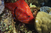 Tropical spotted red grouper (Epinephelus sp.) — Stock Photo