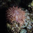 Tropical sea urchin (Acanthaster planci) — Stock Photo