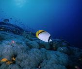 Sudan, morze czerwone, zdjęcie u.w., pokryte ryba — Zdjęcie stockowe