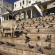 Pigeons and a sacred cow on the steps to the lake — Stockfoto