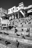Pigeons and a sacred cow on the steps to the lake — Stock Photo