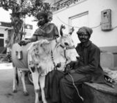 Indian men and a sacred cow — Stock Photo