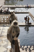Singes Indiens Regarde au pèlerins, prendre un bain — Photo