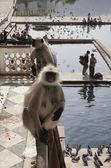 Indiase apen kijken van de pelgrims te nemen een bad — Stockfoto