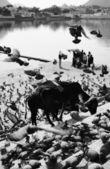 ハトと湖には、手順上の神聖な牛 — ストック写真