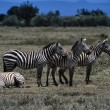Stock Photo: Wild zebras