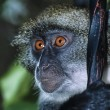 African monkey — Stock Photo