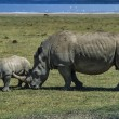 Female rhino with her baby — Stock Photo