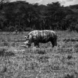 Kenya, Nakuru National Park, black rhino — Stock Photo #32795299