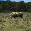 Kenya, Nakuru National Park, black rhino — Stock Photo
