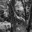 Kenya, Nakuru National Park, giraffe — Stock Photo #32795317