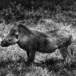 Kenya, Nakuru National Park, warthog — Stock Photo #32795353