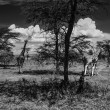Kenya, Nakuru Lake (Nakuru National Park), panoramic view of park and group of giraffes — Stock Photo #32795411