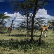 Kenya, Nakuru Lake (Nakuru National Park), panoramic view of park and group of giraffes — Stock Photo #32795429