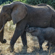 Kenya, Nakuru National Park, female elephant with her baby — Stock Photo #32795449