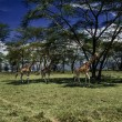 Kenya, Nakuru National Park, giraffes — Stock Photo