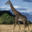 Kenya, Nakuru National Park, giraffe — Stock Photo