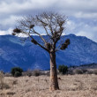 Stock Photo: Kenya, Nakuru National Park, Baobab tree