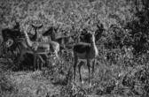 Kenya, Nakuru National Park, Impala gazelles — Stock Photo