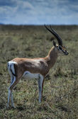 Kenya, Nakuru National Park, Impala male gazelle — Stock Photo