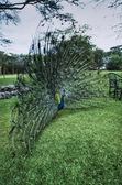 Kenya, Nakuru National Park, Naiwasha Lake Resort, peacock — Stock Photo