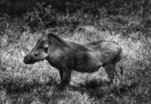 Kenya, Nakuru National Park, warthog — Stock Photo