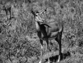 Kenya, Nakuru National Park, Thompson gazelle — Stock Photo