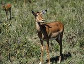 Kenya, Nakuru National Park, Thompson gazelle — Stock Photo