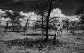 Kenya, Nakuru Lake (Nakuru National Park), panoramic view of the park and a group of giraffes — Stock Photo