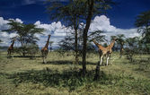 Kenya, Nakuru Lake (Nakuru National Park), panoramic view of the park and a group of giraffes — Stock Photo