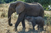 Kenya, Nakuru National Park, female elephant with her baby — Stock Photo