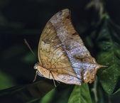Kenya, Malindi, tropical butterfly on a leaf — Stock Photo