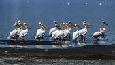 Kenya, Nakuru Lake (Nakuru National Park), pelicans — Stock Photo