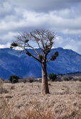 Kenya, Nakuru National Park, Baobab tree — Stock Photo