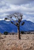 Kenya, Nakuru National Park, Baobab tree — Stock Photo
