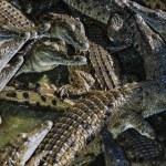 Kenya, Mombasa, crocodiles in a crocodile farm near the city — Stock Photo #32941217